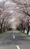 桜は今年もきれいに咲きました🌸